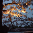 大川沿いの桜